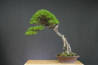 p.densiflora