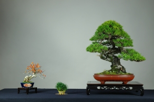 densiflora,celastrus