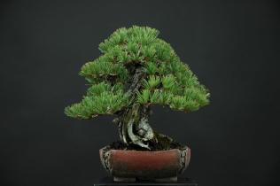p.parviflora