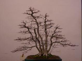 a.palmatum