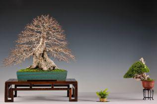carpinus, juniperus chin.
