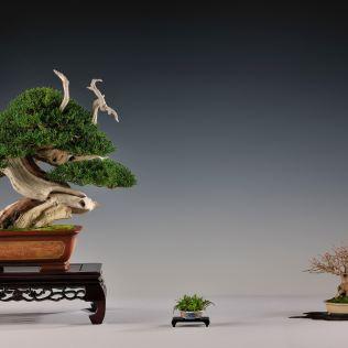 juniperus chin.,acer burg.