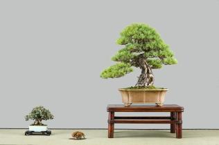 parviflora,elaeagnus