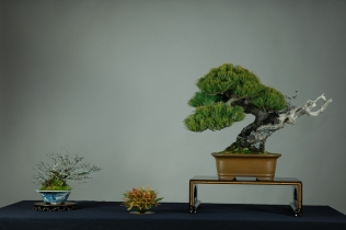 parviflora,chaenomeles