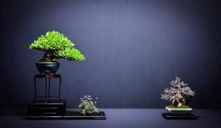gardenia,acer burg.