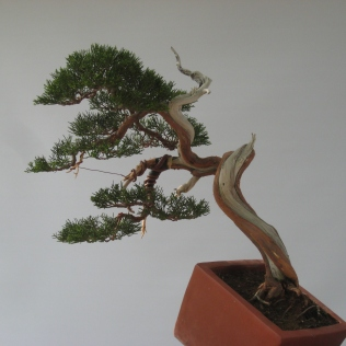 j.chinensis